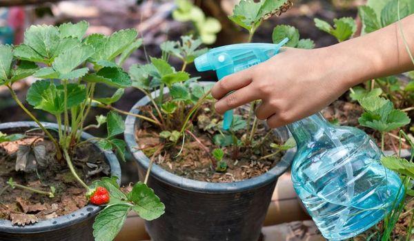Die Verwendung von Magnesiumsulfat für Pflanzen