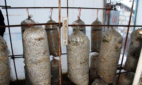 Der Anbau von Pilzen im Gewächshaus ist ein interessanter und einfacher Vorgang.