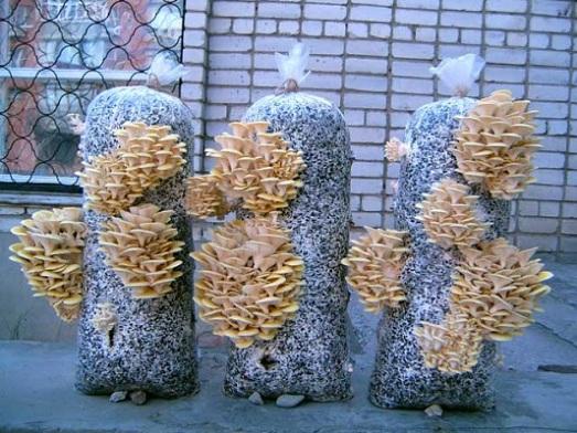 Wachsende Austernpilze zu Hause auf dem Balkon