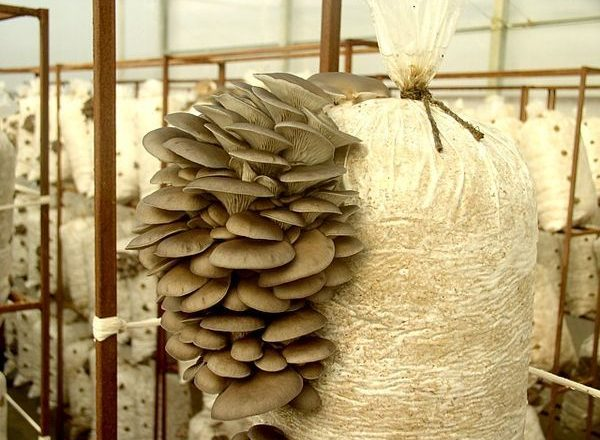 Wachsende Austernpilze zu Hause