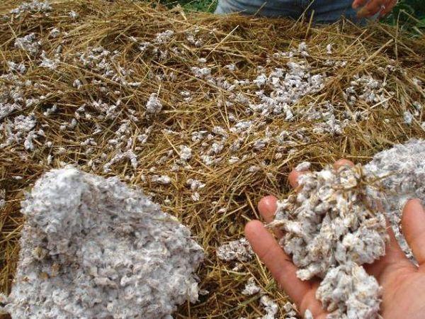 Vorbereitetes Substrat für den Anbau von Austernpilzen
