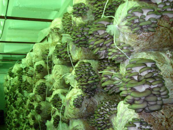 Etwa 100 kg Austernpilze erhalten 100 Beutel