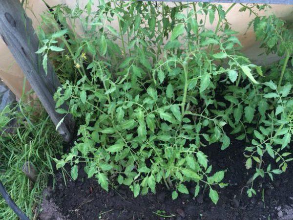 Verkrustete Tomaten geben viel Grün.