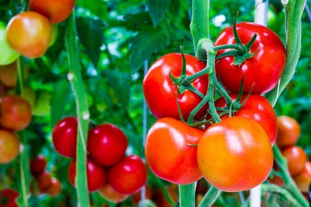 Maskierung von Tomaten