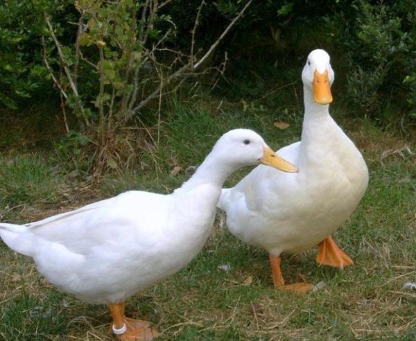 Blagovarskaya-Ente ist im Essen nicht skurril
