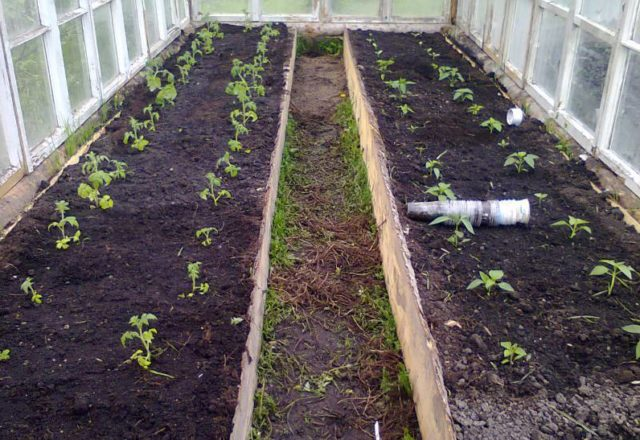 wenn man Tomaten in einem Gewächshaus in Sibirien pflanzt