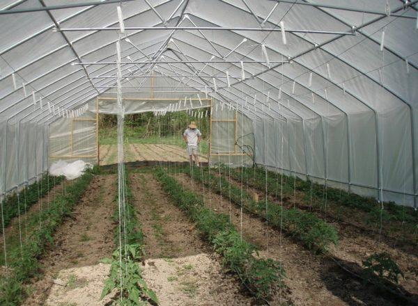 Bedingungen für das Pflanzen von Tomaten