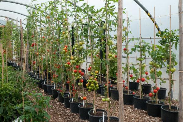 Tomaten, in einem Stiel geformt