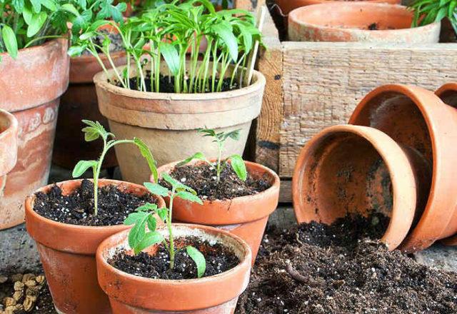 Tomatensämlinge